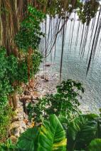 Banyan Tree Over Water