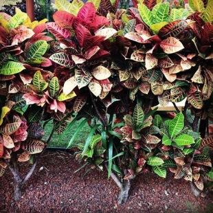 Ti Leaves