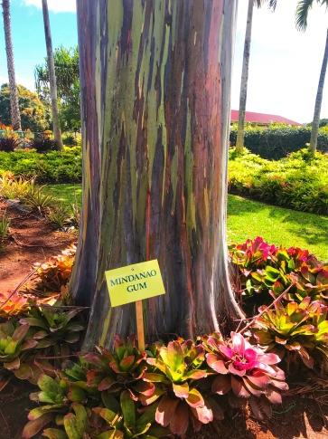 Dole Plantation - Rainbow Eucalyptus