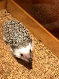 Hedgehog Cafe 1 (1)