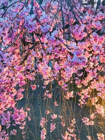 Arashiyama Cherry Tree 2