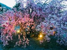 Arashiyama Cherry Tree