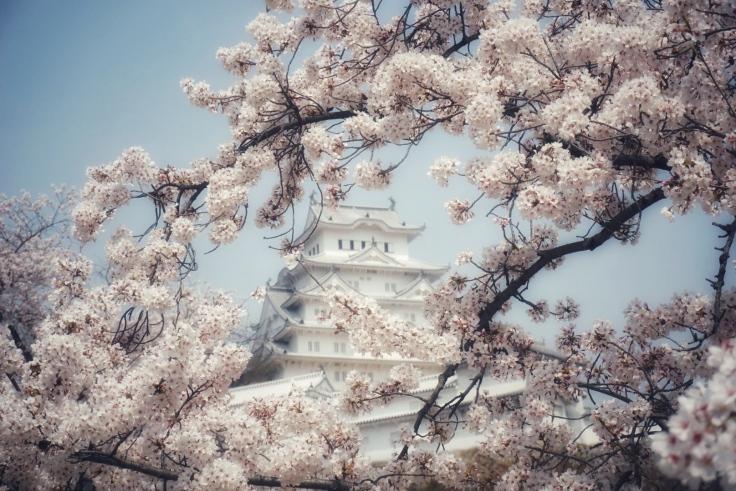 Himeji Castle Peek-a-boo Blossoms