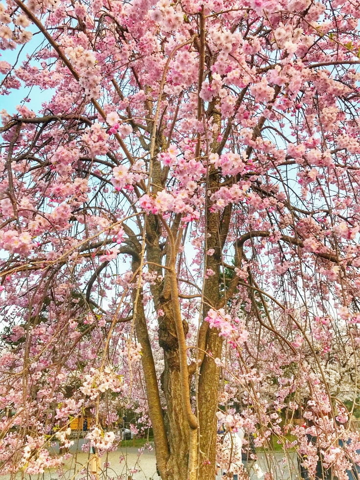 Weeping Cherry Tree.jpeg
